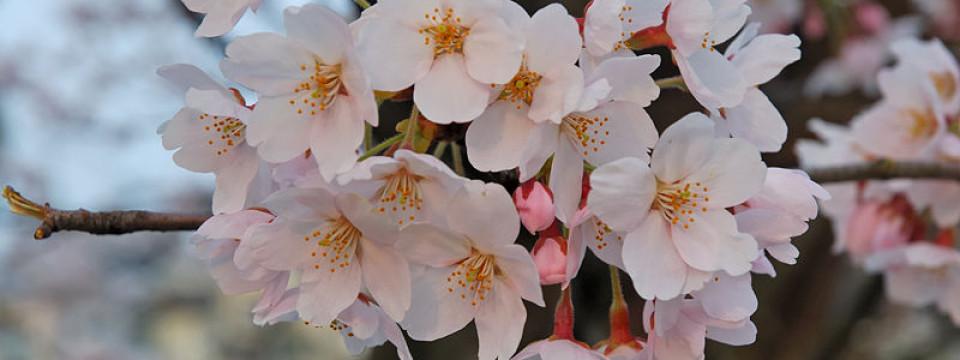 「花見」 の由来